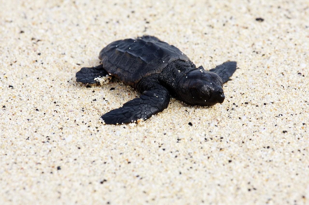 Le Cap Vert est la troisième plus grande réserve au monde pour la préservation des tortues marines. L'archipel compte 2 centres de reproduction, l'un sur l'île de Sal et l'autre sur l'île de Boavista.